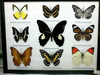 Colorful 9 Butterfly Peacock Real Insect Mounted Display In Framed Collection 2