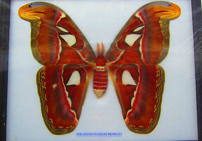 Giant Atlas Moth Butterfly Largest World Framed Insect Butterflies Display Real