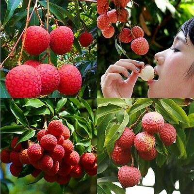 10 Pcs Lychee Tree Seeds Outdoor Fruit Tree Seeds for Home Garden Planting H