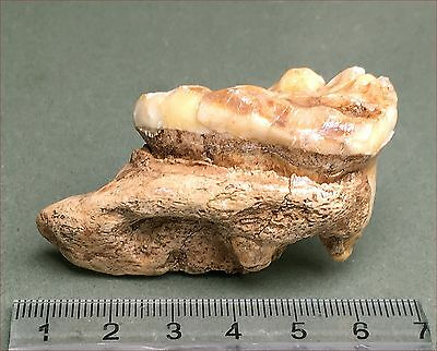 Nice-quality fossil cave bear tooth. 1340