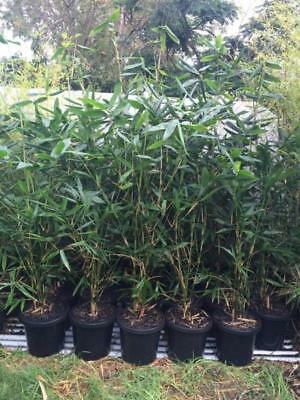 Bambusa Oldhamii Bamboo plants 200mm pots 1.2mt high