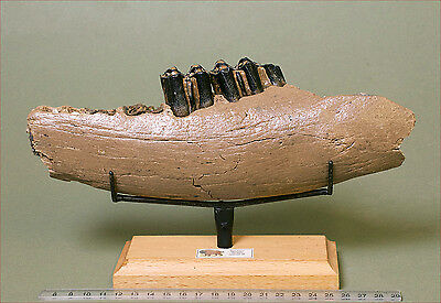 Large section of fossil Bison jawbone with teeth. Pleistocene.  1399