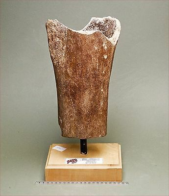 Heavy mounted section of femur from a Wooly Mammoth.  Pleistocene.  1409