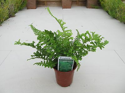 Dryopteris affinis Cristata The King Scaly Male Fern Plant~9cm Potted Large Fern