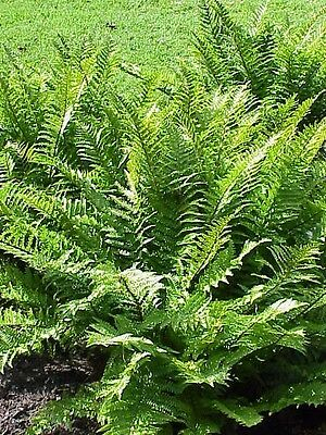 Fern Dryopteris affinis Cristata The King in 9cm pot FREE DELIVERY over £20