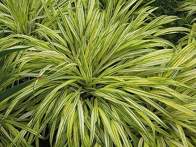Hakonechloa macra Aureola perennial plant in 9cm pot FREE DELIVERY over £20