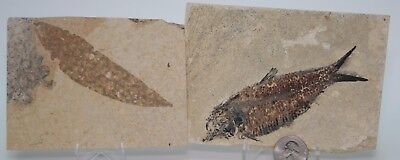 Flora and Fauna: Fossil Fish and Plant Leaf Green River Formation Wyoming