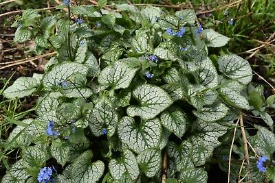 Brunnera Jack Frost plant in 1 litre pot FREE DELIVERY over £20