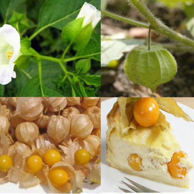 60 Seeds Cape Gooseberry  Physalis Peruviana Giant Poha Berry Ground Cherry HOT
