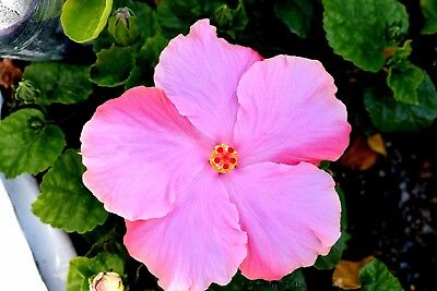 """Hibiscus rosa-sinensis """"Flower Girl"""" x 1 small plant."""