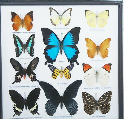 Real 12 Butterfly Wings mounted Blue Morpho  Colorful DISPLAY wood framed
