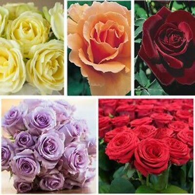 4 ROSES LUCKY DIP ROSE OFFER Supplied as bare rooted plants Instructions below