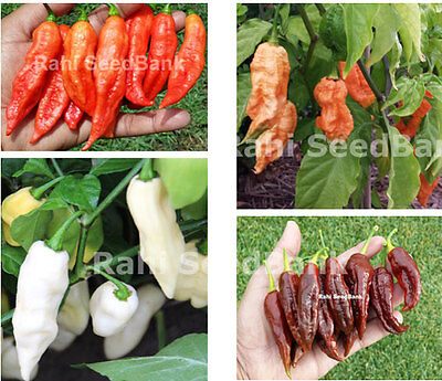 Bhut Jolokia, Ghost Chilli Collection - Australian Grown former World Hottest!