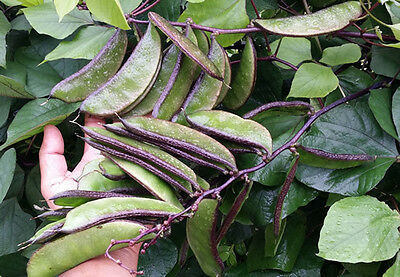 RARE Hyacinth Bean Purple Green, Indian Bean - Extreme Heavy yields - 5 Seeds