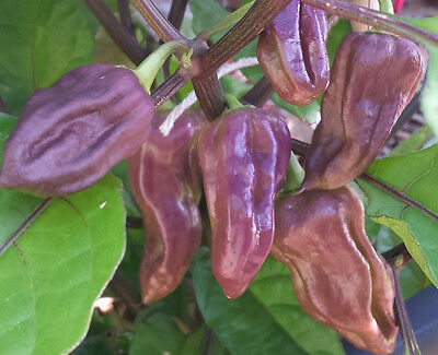 PURPLE Bhut Jolokia/Ghost Chilli: 10 RARE Seeds- One of the hottest in the world