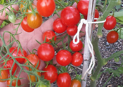 Grape Tomato - A High-yielding Rare Variety that is Sweeter than Roma or Cherry