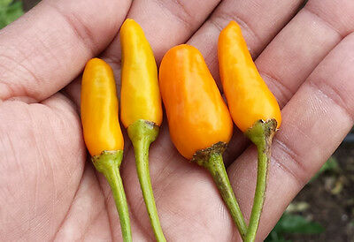 Yemen Chilli Pepper - A Medium Hot Gorgeous Yellow Chilli Pepper Variety