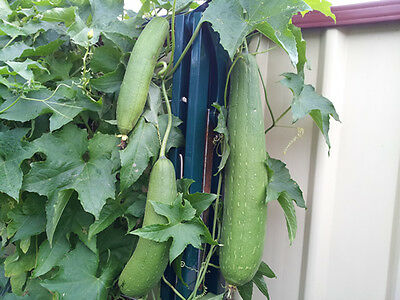 Smooth Luffa, Turai, Sebot, Patola, Chinese Okra - 10 Australian Grown Seeds!!!