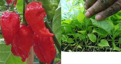 Naga Viper Chilli Plant - World's former Official Hottest Chilli Pepper!