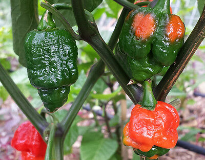 Trinidad Moruga Scorpion - World's 2nd Hottest Chilli Pepper - 20 Seeds