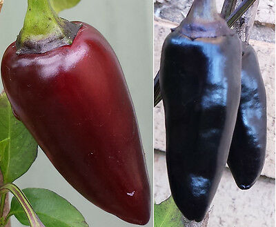Hungarian Black Chilli - A Rare & Colourful Medium Hot Chilli Pepper - 10 Seeds