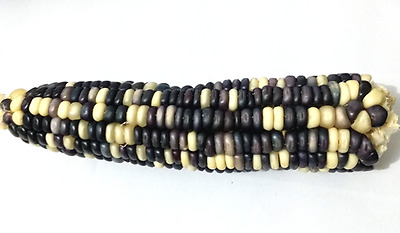 Corn Long White Blue - A Rare, Unique & Stunning Blue White Corn Variety!!!