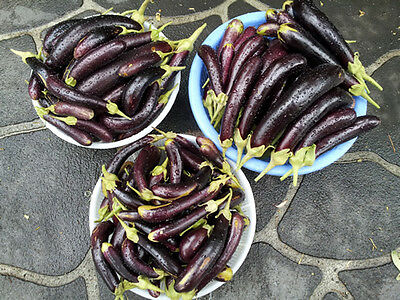 Little Finger Eggplant - An Extreme High-Yielding Variety - 10 Seeds