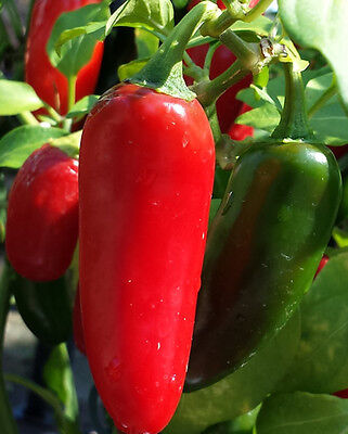 Mexican Red Jalapeño Chilli - A Pepper that is Widely Used all Over the World