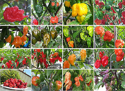 World's Hottest Chilli Mega Collection - ONLY for the Extreme Chilli Lovers