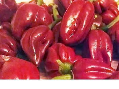 Chocolate Habanero, Heavy Yield & Extreme hot Chilli - 10 Seeds