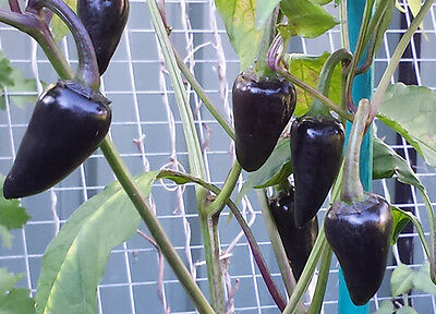 Rare Purple Jalapeno Chilli - A Medium Hot, Beautiful & Unique Jalapeno Pepper