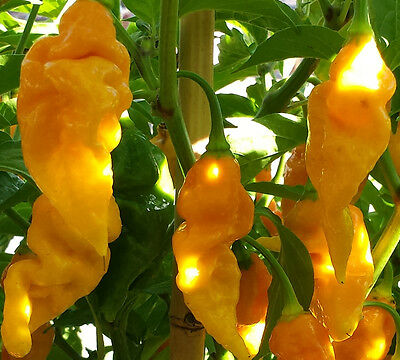 YELLOW Bhut Jolokia/Ghost Chilli: 10 RARE Seeds- One of the hottest in the world