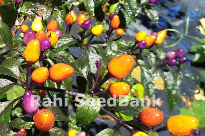 Hot Bolivian Rainbow Chilli - Bright & Colorful Addition to Your Garden Oz Grown