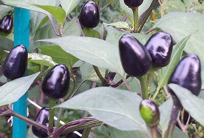 Royal Black Chilli - A Hot & Spicy Chilli with an Stunning Look!
