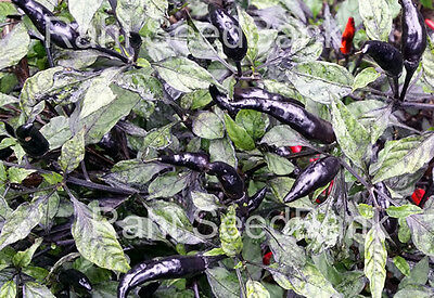 Maui Purple Chilli - Extra-ordinary Hot & Stunning Vibrant Purple Chilli Variety