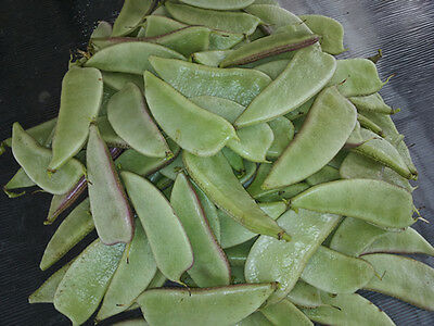 Hyacinth bean, Indian bean, Egyptian bean, Njahi, Bulay, Bataw - 5 Seeds
