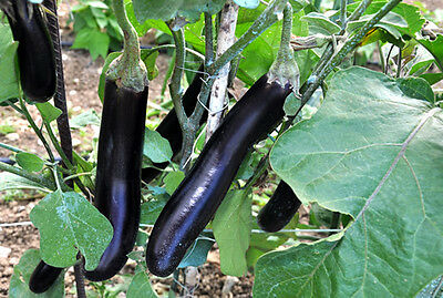 Eggplant Early Long Purple - A Delicious & Early Yield Eggplant - 20 Seeds