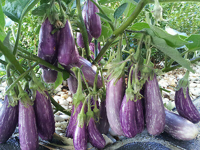 Fairy Tale Eggplant - 2005 AAS Award Winner - High-Yielding Variety - 10 Seeds