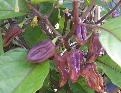 PURPLE Bhut Jolokia/Ghost Chilli: 20 Seeds- One of the hottest in the world