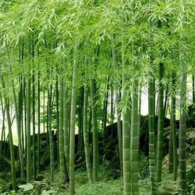 5pack Tinwa Green Phyllostachys Pubescens Moso-Bamboo Seeds Supply Bamboo
