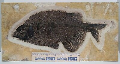 "Beautiful Phareodus Testis 12"" Fossil Fish Green River Formation Wyoming Eocene"