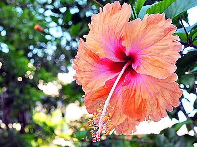 "Hibiscus rosa-sinensis ""Madeline Champion"" x 1 young plant"