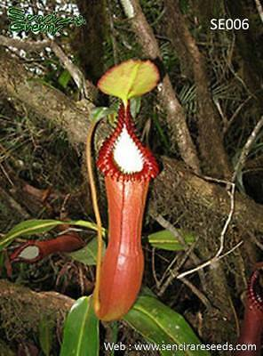 Nepenthes edwardsiana seeds - EXTREMELY RARE Carnivorous ,30 fresh seeds