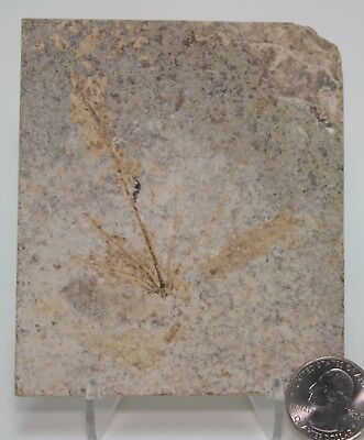 Interesting Undescribed Fossil Plant & Fish Green River Formation Wyoming Eocene