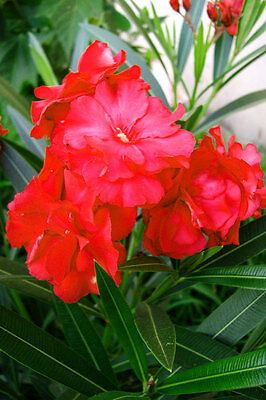 Nerium oleander double red plant, non seeds!