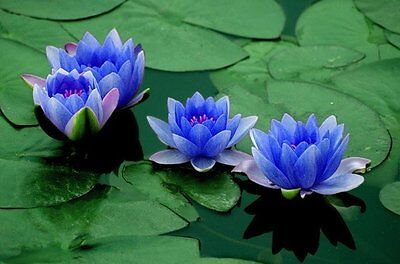 Hardy Water Lilies Nymphaea Mix  Red  Yellow  White And Blue  Fresh Seeds
