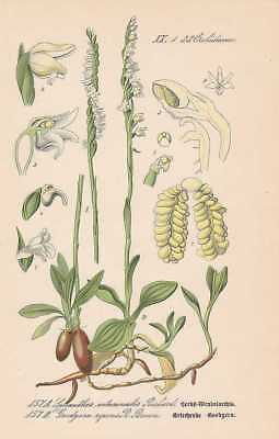 Spiranthes Goodyera Orchideen THOME Lithographie  1886