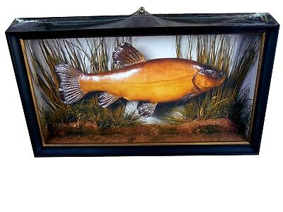 Deep-Framed Cased Fish Print Taxidermy for Tench angler or fisherman present