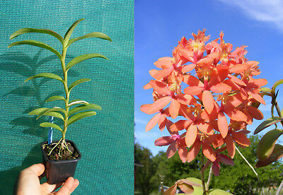 Epidendrum Orange Sprash, Orchidée, Orchid