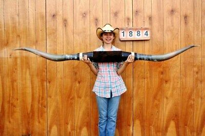 "Steer Long Horns Mounted 6' 11"" Cow Bull Skull Taxidermy Longhorn Lh1884"